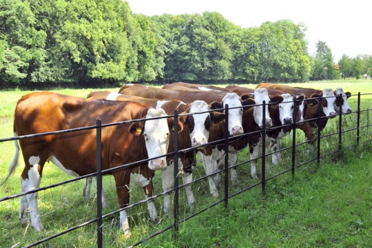a line of brown cows
